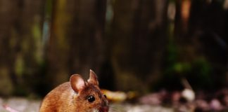 Kent News: Suspected Case of Hantavirus in Issaquah