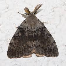 Gypsy Moth Treatments to Begin in April