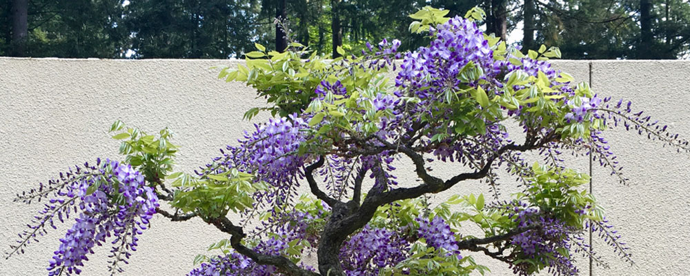 Bonsai Fest! returns to Federal Way May 11-12