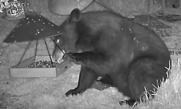 VIDEO: Trail cam captures black bear near Soos Creek Trail in Kent