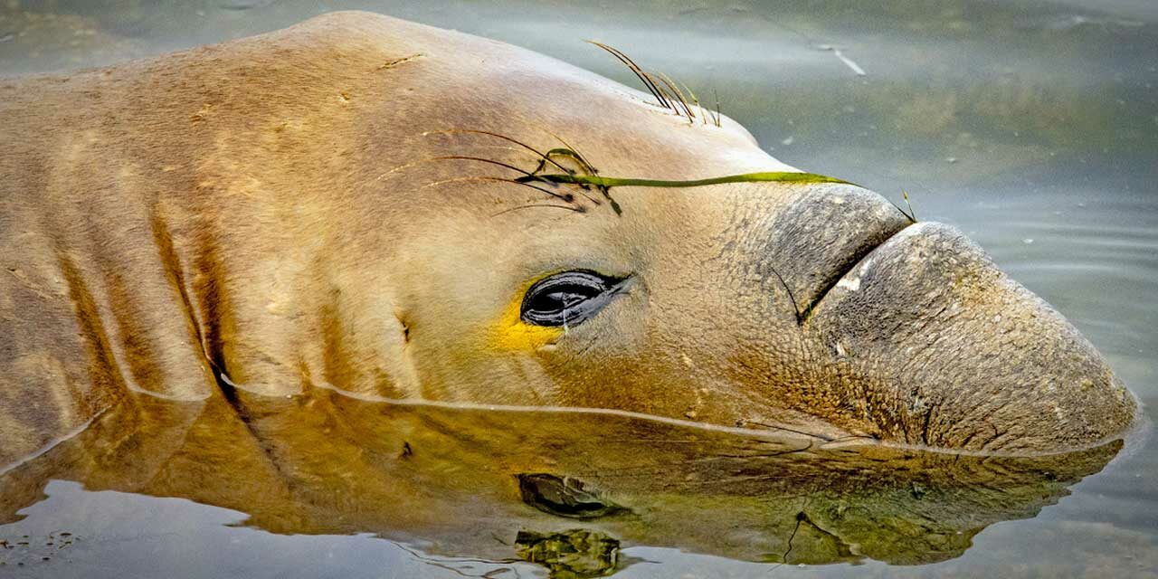 PHOTO FRIDAY: Young male elephant seal seen at mouth of Des Moines Creek