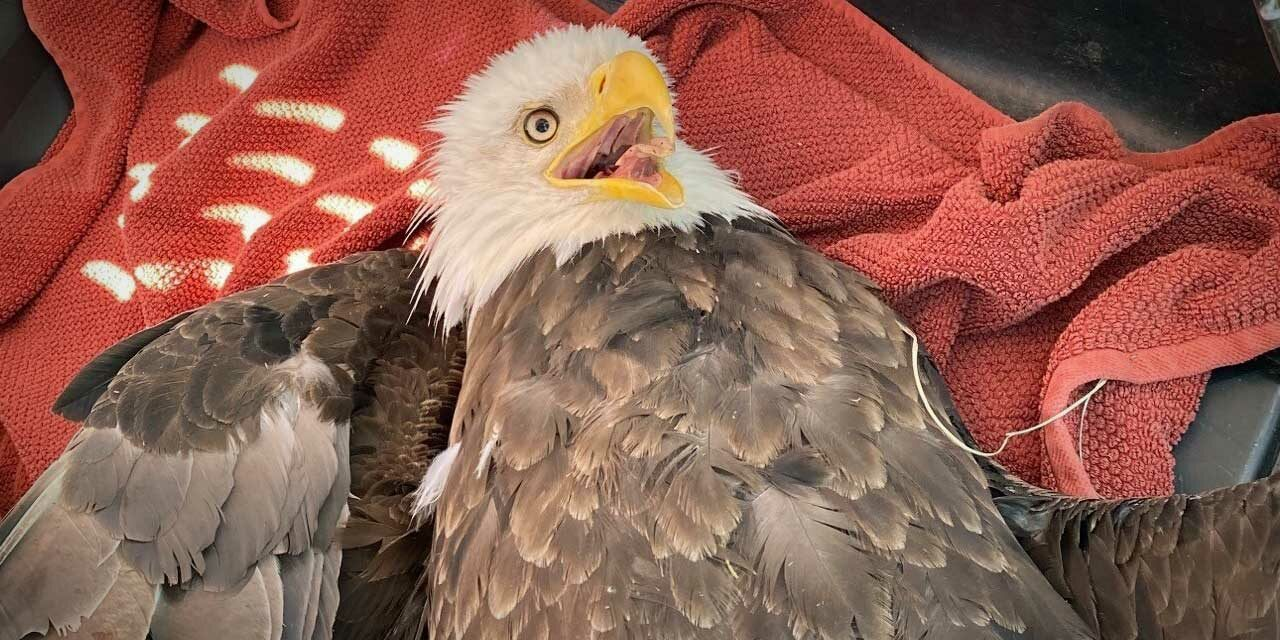 'Freedom saved' – Kent Police rescue bald eagle shocked by power line