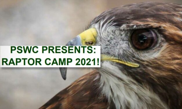 Puget Sound Wildcare's 'Raptor Camp' for teens will have 2 sessions this summer
